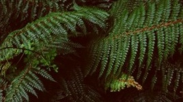 Native Fern